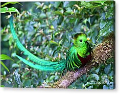 Beautiful Quetzal 3 Acrylic Print by Heiko Koehrer-Wagner