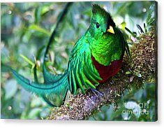 Beautiful Quetzal 4 Acrylic Print