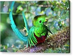 Beautiful Quetzal 5 Acrylic Print by Heiko Koehrer-Wagner