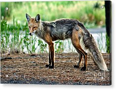Beautiful Red Fox Acrylic Print by Robert Bales