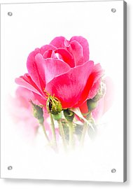 Acrylic Print featuring the photograph Beautiful Rose by Anita Oakley