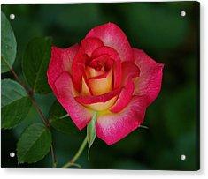 Beautiful Rose Acrylic Print by Sandy Keeton