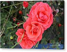 Acrylic Print featuring the photograph Beautiful Roses by Cendrine Marrouat