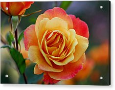 Beautiful Roses Acrylic Print by Jean-Jacques Thebault