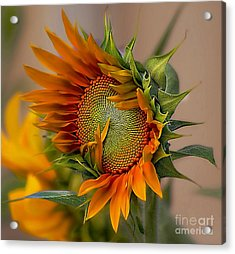 Beautiful Sunflower Acrylic Print by John  Kolenberg