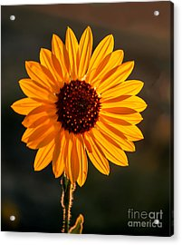 Beautiful Sunflower Acrylic Print by Robert Bales