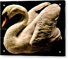 Beautiful Swan 331 Acrylic Print by Angela Seager