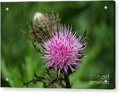 Beautiful Thistle Acrylic Print by Theresa Willingham
