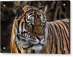 Acrylic Print featuring the photograph Beautiful Tiger Photograph by Tracie Kaska