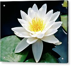 Beautiful Water Lily Capture Acrylic Print by Ed  Riche