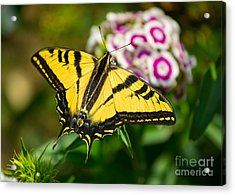 Beautiful Western Tiger Swallowtail Butterfly On Spring Flowers. Acrylic Print by Jamie Pham