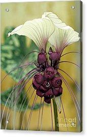 Beautiful White Bat Flower Acrylic Print by Sabrina L Ryan
