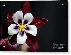 Beautiful White Petal Yellow Stamen Purple Shades Aquilegia Columbine Flower Acrylic Print