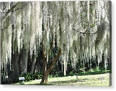 Acrylic Print featuring the photograph Beautiful White Spanish Moss Hanging From Trees by Jodi Terracina