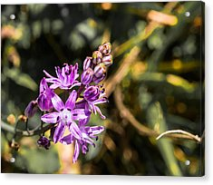 Scilla Bifolia Beautiful Wild Flower Country Acrylic Print