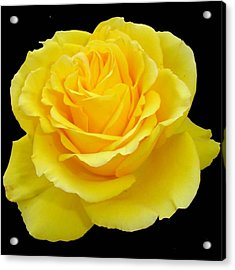 Beautiful Yellow Rose Flower On Black Background  Acrylic Print