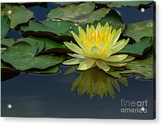 Beautiful Yellow Water Lily Acrylic Print by Tosporn Preede