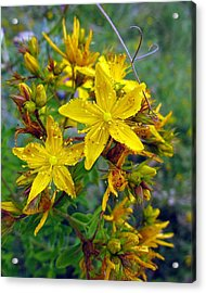 Beauty In A Weed Acrylic Print