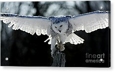 Beauty In Motion- Snowy Owl Landing Acrylic Print by Inspired Nature Photography Fine Art Photography