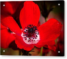 Beauty In Red Acrylic Print