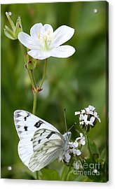 Beauty In White Acrylic Print