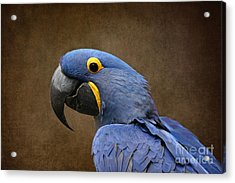 Beauty Is An Enchanted Soul - Hyacinth Macaw - Anodorhynchus Hyacinthinus Acrylic Print