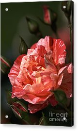 Acrylic Print featuring the photograph Beauty Of Rose by Joy Watson