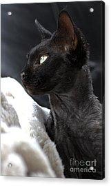 Beauty Of The Rex Cat Acrylic Print