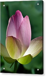 Beauty Unfolding Acrylic Print