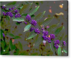 Beautyberry Acrylic Print by Frank Tozier