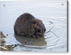 Beaver Chewing On Twig Acrylic Print