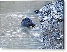 Beaver Chews On Stick Acrylic Print by Chris Flees