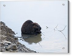 Beaver In The Shallows Acrylic Print by Chris Flees