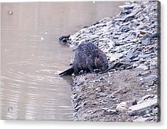 Beaver On Dry Land Acrylic Print by Chris Flees
