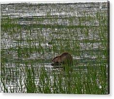 Beaver On Rest Lake Acrylic Print by Lizbeth Bostrom