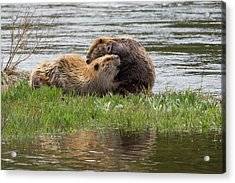 Beaver Pair Grooming One Another Acrylic Print by Ken Archer