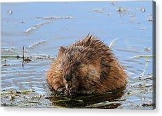 Beaver Portrait Acrylic Print by Dan Sproul