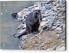 Beaver Sharpens Stick Acrylic Print by Chris Flees