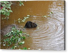 Beaver Youngster At Lunch Acrylic Print by Sandra Updyke