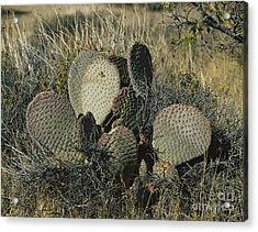 Beavertail Cactus Acrylic Print by Andreas Wellmann/Okapia