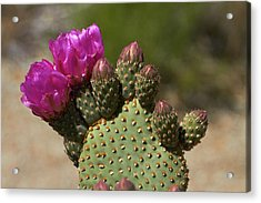 Beavertail Cactus In Flower, Found Only Acrylic Print by David Wall