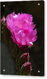 Acrylic Print featuring the photograph Beavertail Prickly Pear Duo by Cindy McDaniel