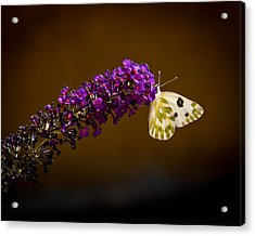 Acrylic Print featuring the photograph Beckers On Butterfly Bush Sparks Nevada by Janis Knight