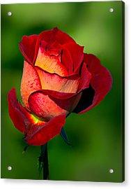 Becoming A Rose Acrylic Print by Tomasz Dziubinski