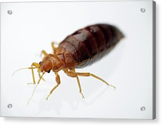 Bed Bug Engorged With Human Blood Acrylic Print