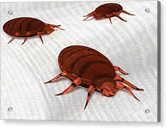 Bed Bugs Acrylic Print by Spencer Sutton