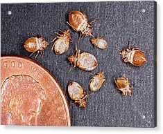 Bed Bugs With A Us One Cent Coin Acrylic Print by Stephen Ausmus/us Department Of Agriculture
