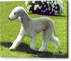 Bedlington Terrier  Acrylic Print by Marvin Blaine