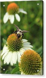 Bee 7 Acrylic Print by Reid Callaway