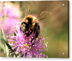 Bee And Blossom Acrylic Print